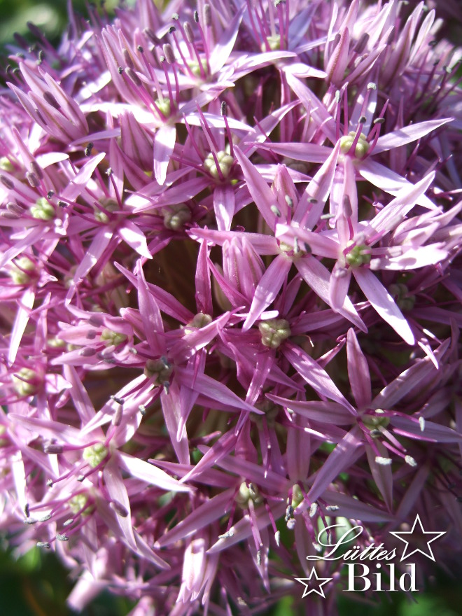 Allium-gross_660x880