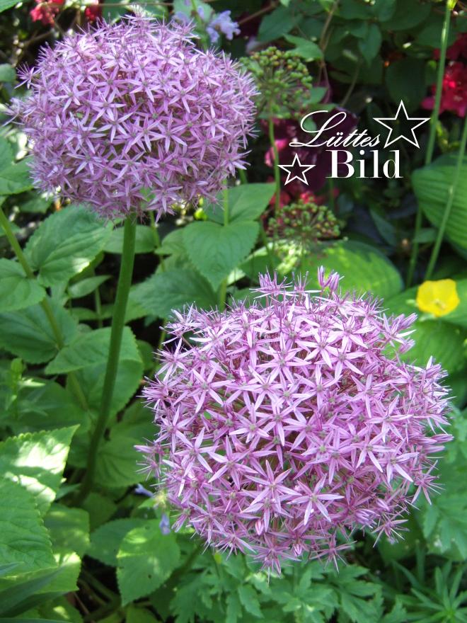 Allium.4_660x880