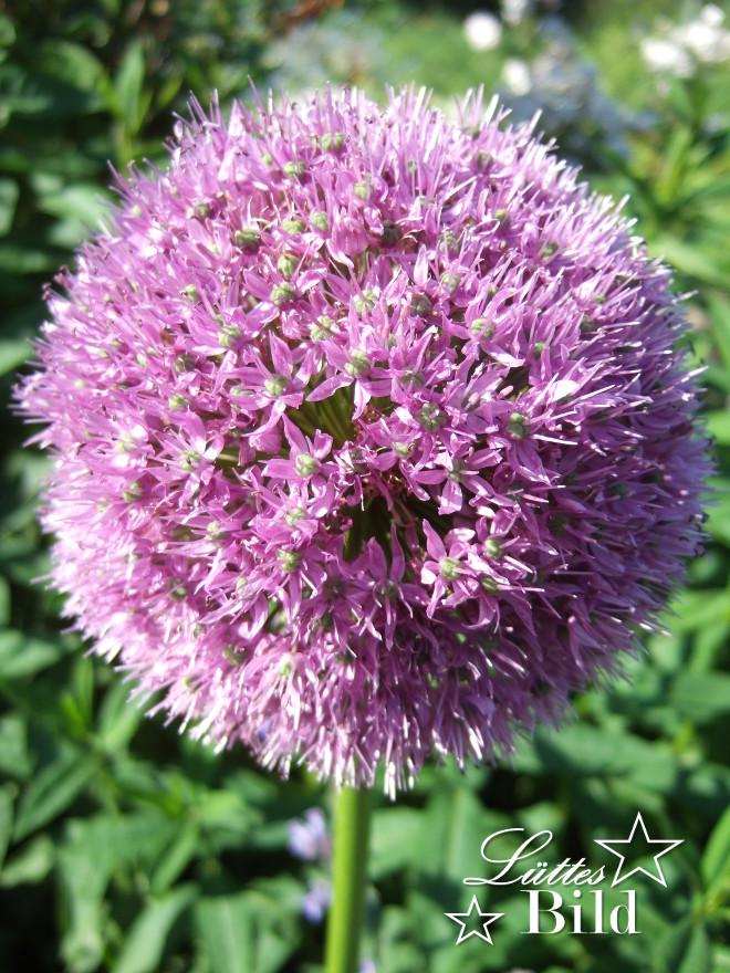 Allium_660x880