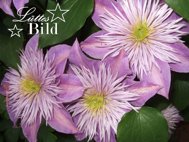 clematis.hellbl._660x495