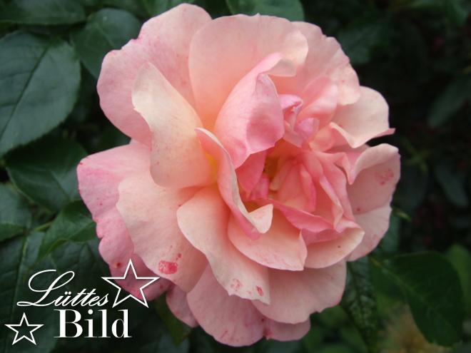 rose.2._660x495