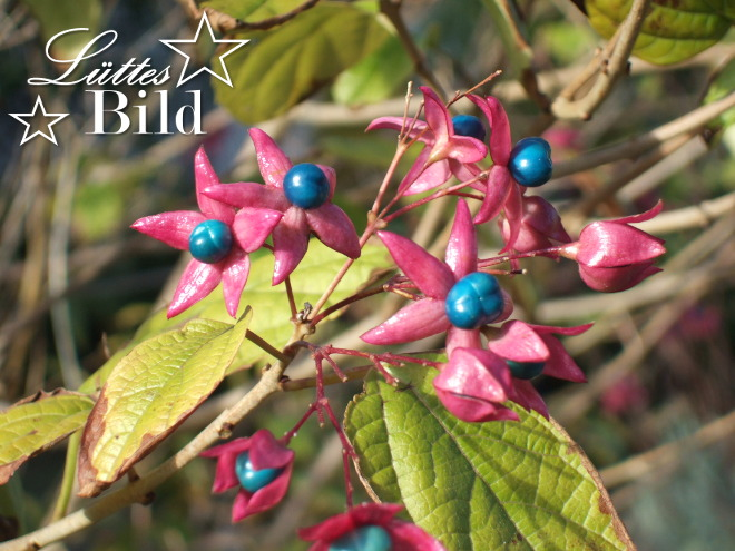 clerodendron_660x495