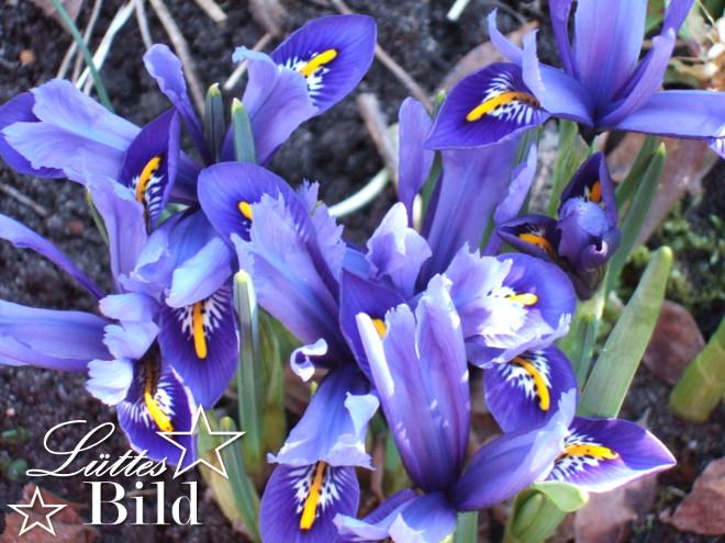iris.blau_660x495