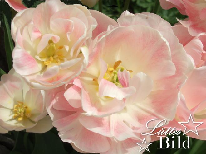 tulpen.3_660x495