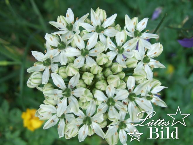 Allium.weiss_660x495