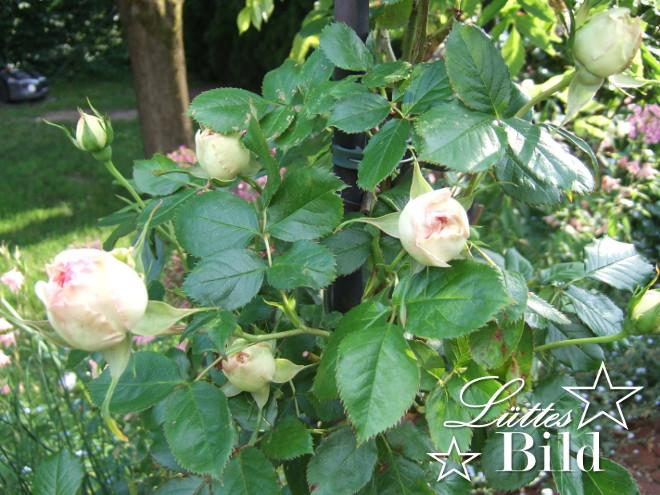 Eden.Rose_660x495