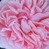 Rosa.Rose_100x100