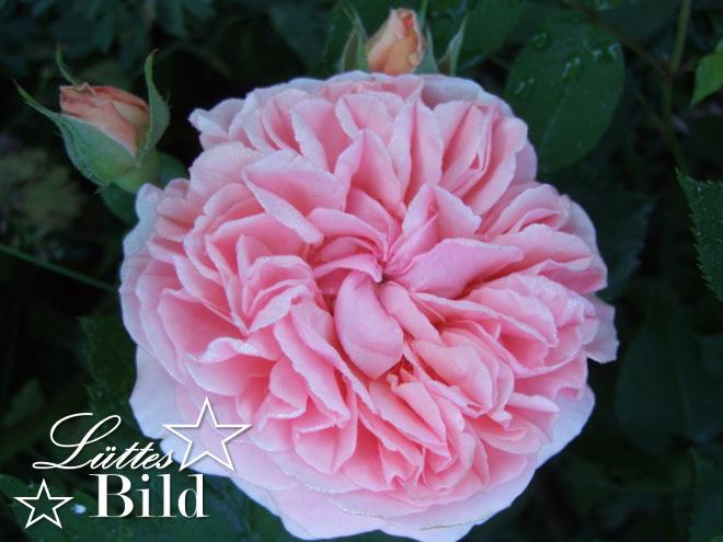 Rose,rosa_660x495