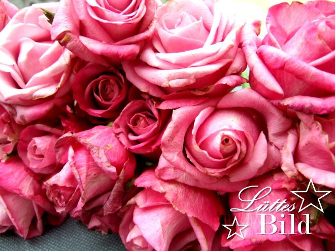 viele Rosen_660x495