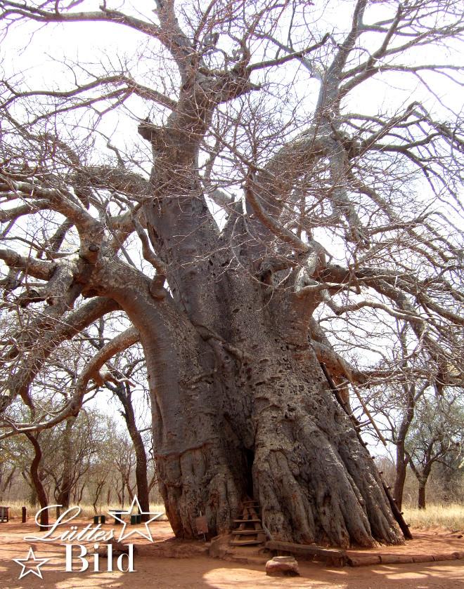 baobab-ganz_660x839
