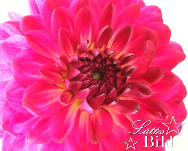 dahlie-pink_660x532
