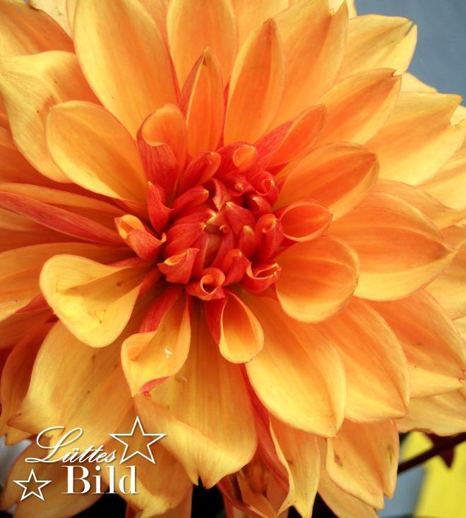 gelbe-dahlie_660x734