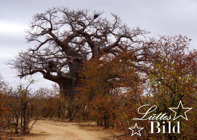 noch-ein-baobab-2_660x468