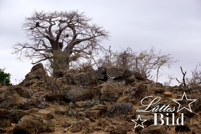 schoener-baobab_660x440