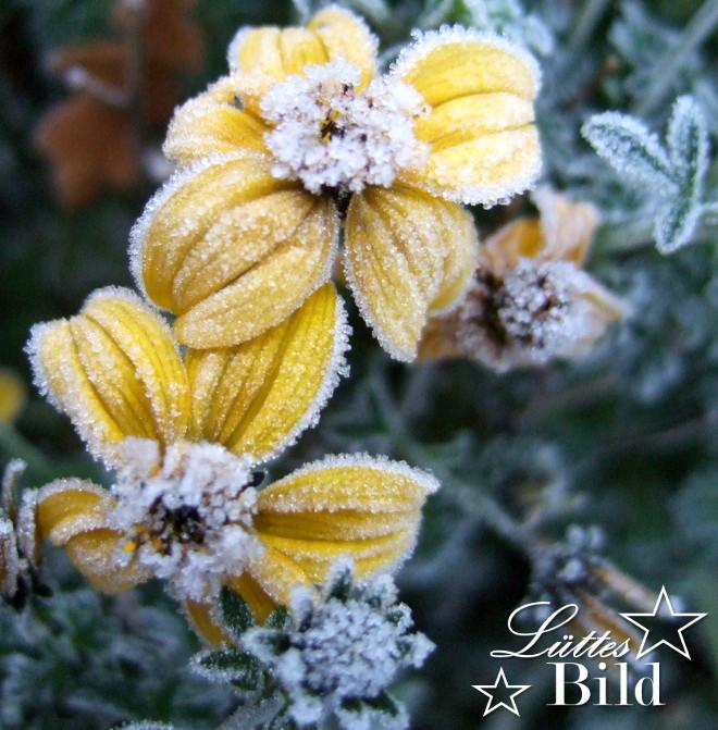 gelb-mit-frost_660x671